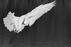 Angel (R - P Photography) Tags: white lake water animal animals angel freedom flying eau ange free lac libert animaux blanc oiseau libre greategret voler grandeaigrette