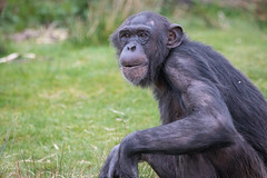 Chimpanzee 2016-04-06-0022 (BZD1) Tags: nature animal mammal natuur pan chimpanzee beeksebergen primates pantroglodytes chimpansee chordata synapsida hominidae commonchimpanzee hominini haplorhini