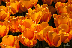Vivid and beautiful (Monika Kalczuga (v.busy)) Tags: flowers orange plant flower holland color nature netherlands spring tulips outdoor tulip flowerfields tulipfields