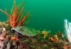 fidler ray (The Dive Guys) Tags: rays nudibranch bareisland divinginsydney stephenjournee