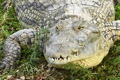 Nice Guy (azh565) Tags: nature animal d2x crocodile