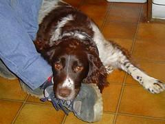 Goodbye Meg (Eire's Gorgeous Golden Gorse representative) Tags: dog pet death rip meg springerspaniel