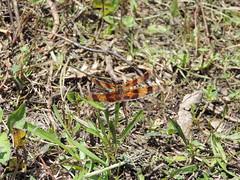 DSCN7910 (Liti Haramaty) Tags: florida dragonfly halloweenpennant