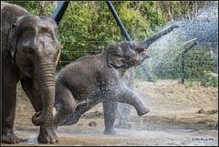 Sunshine and showers. (Phil-Greaves.) Tags: ireland portrait dublin elephant animal young bull explore calf dublinzoo
