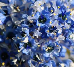 ceanothus arboreus (spencerrushton) Tags: flowers blue sun plant flower colour macro nature fleur canon outdoors petals flor spencer ceanothus wisley rhswisley manfrotto rhs flori fillinflash rushton canonl canonlens manfrottotripod canon100mmf28lmacroisusm spencerrushton 760d canon760d efcanon100mmf28lmacroisusm dffwisley