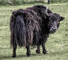 Crazy Horses or Bonkers Buffalo ? (Jon_Wales) Tags: water zoo buffalo somerset ark noahs englad