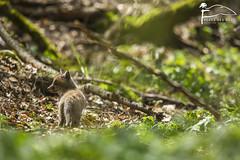 Toujours garder un oeil (Les Frres des Bois) Tags: cub fox bb roux petit redfox vulpesvulpes renardeau renard sousbois vulpes goupil renardroux canids