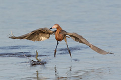 Reddish Egret chases a fish (asparks306) Tags: