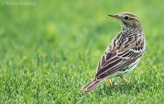 Red-throated Pipit (Anthus cervinus) (Kinan Echtay ... So busy) Tags: wild bird nature beauty field birds animal pose asian nikon perfect dubai desert bokeh outdoor drawing wildlife uae nikkor 500mm depth songbird pipit redthroated anthus kinan redthroatedpipit anthuscervinus tc14 tc17 d4s cervinus kinanechtay echtay