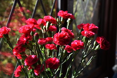 DSC_0838 Carnations (PeaTJay) Tags: flowers roses plants macro nature rose gardens fauna outdoors reading flora micro closeups berkshire rosebuds lowerearley nikond750