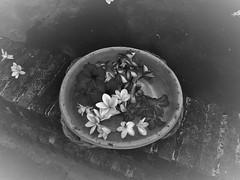 Faith (Mango*Photography) Tags: flowers photography artistic frangipane plumeria faith religion shades sensual offers giulia bergonzoni