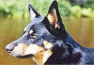 lapinporokoira (1) (tora_fin) Tags: dog postcard trade