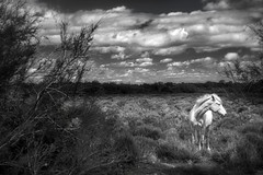 lovely camargue (jody9) Tags: france provence whitehorse camargue