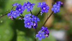 Bluish Monday (Ollie_57.. on/off) Tags: uk england plant flower macro nature canon spring flora dof bokeh ngc devon 7d bloom newtonabbot apr hbm 2016 greenalkanet pentaglottissempervirens tamronsp90mm plantworld ollie57
