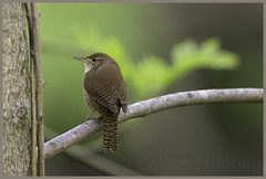 house wren (Christian Hunold) Tags: bird philadelphia bokeh songbird housewren johnheinznwr hauszaunknig christianhunold