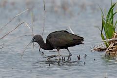 Glossy ibis fishing (Steve Balcombe) Tags: uk bird fishing feeding somerset plegadis falcinellus glossy ibis levels rspb hamwall avalonmarshes