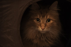 Mandy Monday: Seriousness (Photo Amy) Tags: red orange cute cat ginger kitten feline tabby longhair adorable precious cuddly cuteness tabbycat ef50mm18 longhairedcat canoneos50d