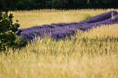 Demi champ de lavande (Dorian Duplex) Tags: france soleil paca provence cereales lavande champ bl