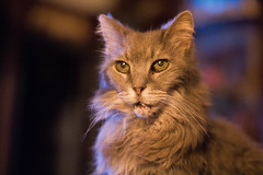 Older and wiser (michael_pictures) Tags: pet animals forest cat pose feline adult norwegian wise older meow
