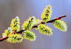 prairie willow (Salix humilis) female flowers at Chipera Prairie IA 854A7438 (lreis_naturalist) Tags: county reis iowa willow larry prairie humilis salix winneshiek chipera
