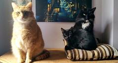 Taz, Leeloo and Neo. (julzz2) Tags: cats pets animals mycats felines cutecats blackcats funnycats gingercats pussycats animalfaces blackandwhitecats catsfaces sunnycats felinefaces petsfaces blackcatsfaces