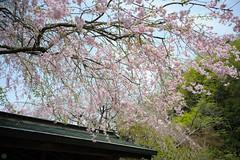 20160410-DSC_7566.jpg (d3_plus) Tags: sky plant flower history nature japan trekking walking temple nikon scenery shrine bokeh hiking kamakura fine daily bloom  28105mmf3545d nikkor    kanagawa   shintoshrine   buddhisttemple dailyphoto sanctuary   thesedays kitakamakura  28105   fineday   28105mm  holyplace historicmonuments  zoomlense ancientcity        28105mmf3545 d700 281053545 nikond700  aiafzoomnikkor28105mmf3545d 28105mmf3545af aiafnikkor28105mmf3545d