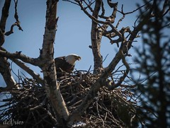 Lay baby, Lay . . . (Dr. Farnsworth) Tags: blue sky food white bird mi spring sticks nest eagle head eating egg gorge fernridge april2016