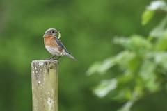 Female Eastern Bluebird. (rlbarn) Tags: bird bluebird