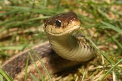 Snake in the Grass (Steve Byland) Tags: garter canon reptile snake 7d markii thamnophis sirtalis