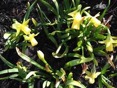 ** Un début...** (Impatience_1 ( Peu...ou moins présente... )) Tags: flower fleur spring m daffodil printemps impatience jonquille coth supershot fantasticnature abigfave saveearth citrit alittlebeauty coth5