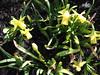 ** Un début...** (Impatience_1) Tags: flower fleur spring m daffodil printemps impatience jonquille coth supershot fantasticnature abigfave saveearth citrit alittlebeauty coth5