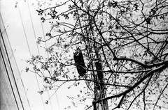 (spring and electricity 1) (Dinasty_Oomae) Tags: street blackandwhite bw flower monochrome tokyo blackwhite wire  cherryblossom  zeissikon  utilitypole   contessa  suginami