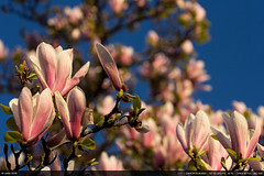 14/52 : Magnolia(s) (Ludtz) Tags: pink flowers alps rose fleurs alpes canon spring magnolia 74 printemps gaillard canoneos60d ludtz ef70200|4l
