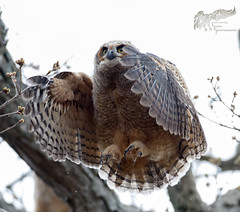 Owlet Branching 4_25 (krisinct- Thanks for 12 Million views!) Tags: canon mark ii 7d 500 f4