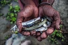 Fish! (Towfiq Chowdhury) Tags: urban fish fisherman village bangladesh survive