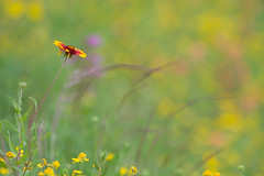 Solitude (Linda Dyer Kennedy) Tags: flower green yellow catchycolors landscape texas bokeh depthoffield wildflower indianblanket