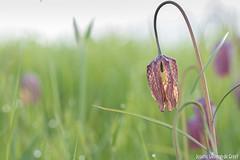 Kievitsbloem-9502 (Josette Veltman) Tags: macro photowalk lente zwolle overijssel landschap zeldzaam kievitsbloem kievitsbloemen photowalkzwolle checkersflower