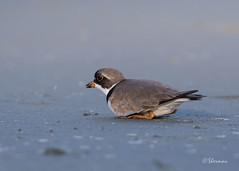 Semipalmated-Plover5 (Sherms Photo) Tags: birds canon bc tofino shorebirds 7dm2 shorebirdfestival2016