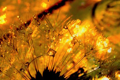 Glory Days (ursulamller900) Tags: golden droplets dandelion lwenzahn extensiontubes