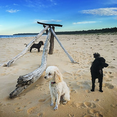 Poodles and Sculpture Three (caralan393) Tags: sculpture beach poodles square three driftwood moruya