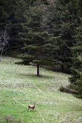 Cervo giovane (MILESI FEDERICO) Tags: wild italy detail primavera nature nikon europa europe italia wildlife details nat natura piemonte dettagli alpi piedmont valsusa cervo dettaglio nital valdisusa milesi alpicozie valledisusa d7100 visitpiedmont valliolimpiche nikond7100 milesifederico