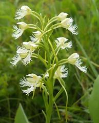 Eastern Prairie Fringed Orchid (Platanthera leucophaea) (John Scholze) Tags: wisconsin endangered wildflower wetland platanthera threatened leucophaea easternprairiefringedorchid