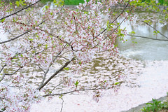 20160410-DSC_8502.jpg (d3_plus) Tags: sky plant flower history nature japan trekking walking temple nikon scenery shrine bokeh hiking kamakura fine daily bloom  28105mmf3545d nikkor    kanagawa   shintoshrine   buddhisttemple dailyphoto   thesedays kitakamakura  28105   fineday   28105mm  historicmonuments  zoomlense ancientcity       28105mmf3545 d700 281053545 nikond700  aiafzoomnikkor28105mmf3545d 28105mmf3545af aiafnikkor28105mmf3545d