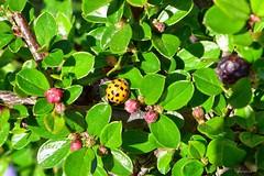ein kleiner Glcksbringer in meinem Vorgarten (mama knipst!) Tags: insekt marienkfer meingarten