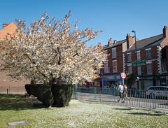 Bridge street blossom 01 apr 16 (Shaun the grime lover) Tags: street flower tree fence petals spring warrington cheshire blossom bridgestreet
