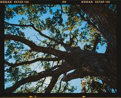 (andrey_kireev) Tags: summer sky tree 120 film mediumformat oak calm scan foliage serene crimea 67 ektar pentax6x7 ektar100 filmfilmforever pentaxsmc45mmf4