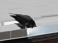 Doing I know not what (jamica1) Tags: canada birds bc okanagan pair columbia british kelowna crows corvids