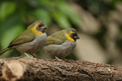 cuban grassquit (-j0n4s-) Tags: bird art animals canon flickr bokeh cuban tamron animalplanet 70300 tamron70300 beautifulearth cubangrassquit j0n4s