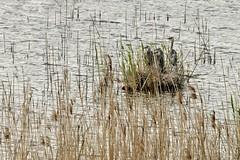 Giovani aironi nel nido tra le canne (luporosso) Tags: naturaleza bird nature birds nikon natura uccelli nido palude umbria uccello birdwatcher naturalmente airone colfiorito aironecenerino nikond300s