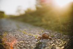 He almost ran out of focus :O (krkojzla) Tags: sunset sun sunlight colors sunshine animal animals analog vintage catchycolors colorful fuji bokeh pastel sony smooth snail retro f18 fujinon bokehlicious ebcfujinon55mmf18 sonynex3n lensturbo